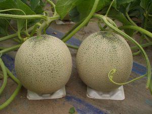 庄内砂丘で栽培されるアンデスメロン-1024x768