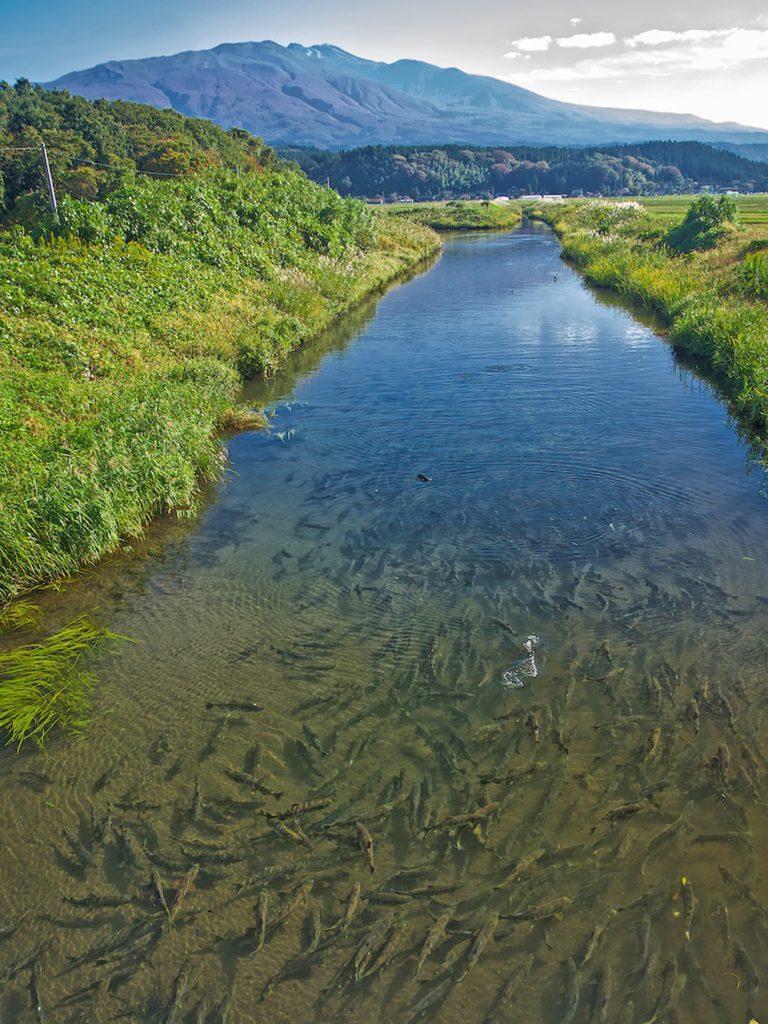牛渡川を遡上するサケ